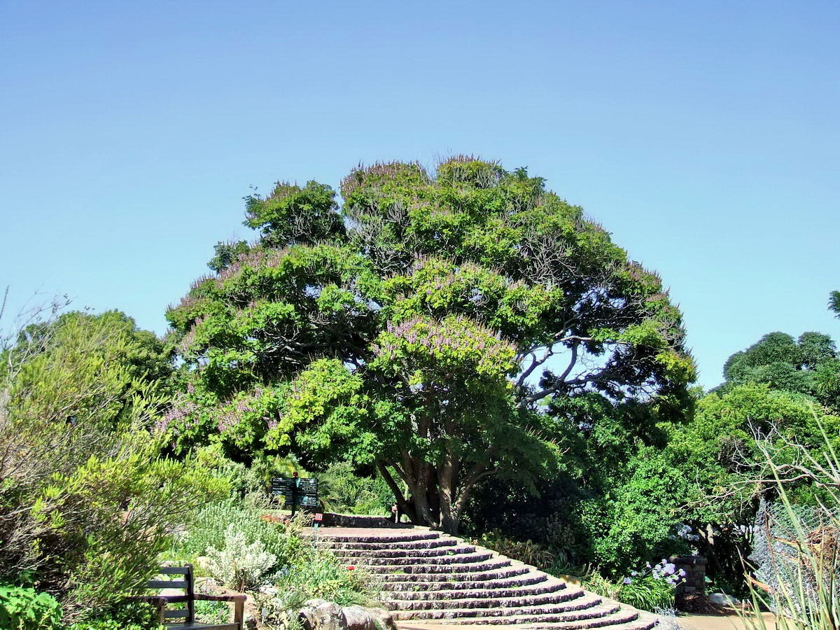 Impressive Botanical Garden, Kirstenbosch, Cape Town, South Africa, Secular tree