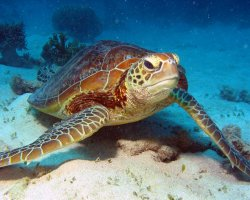 Australia, Oceania, Great Barrier Reef Sea Turtle