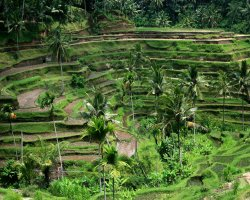 Bali, Indonesia, Ricefields