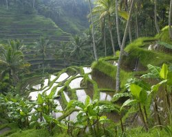 Bali, Indonesia, Terraced Rice Paddy