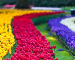 Beautiful Garden Holiday, Keukenhof Garden, Netherland, Colorful tulips flower show