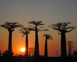 Breathtaking Landscapes, Morondava, Madagascar, Baobab trees at sunset