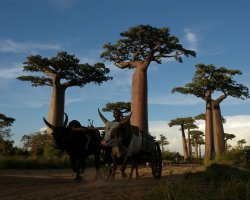 Breathtaking Landscapes, Morondava, Madagascar, Baobab alley