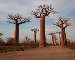 Breathtaking Landscapes, Morondava, Madagascar, Baobab alley view