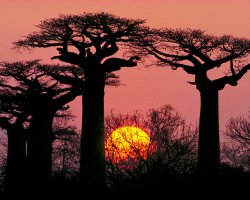 Breathtaking Landscapes, Morondava, Madagascar, Sunset trough baobab trees