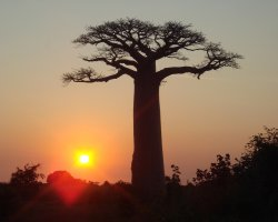 Breathtaking Landscapes, Morondava, Madagascar, Baobabs at sunset