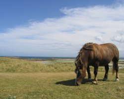 Brittany Holiday, France, Europe, Ile de Batz horse grazing