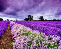 Colorful Vacations, France, Europe, Lavender Fields in bloom
