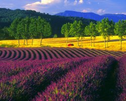 Colorful Vacations, France, Europe, Lavender Fields