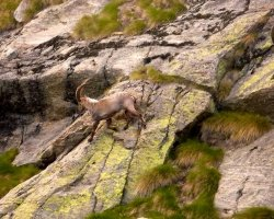 Gran Paradiso, Italy, Europe, Wildlife ibex on running