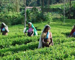 2013 Destination Holiday, Sri Lanka, Asia, Tea crops gathering