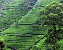 2013 Destination Holiday, Sri Lanka, Asia, Tea crops