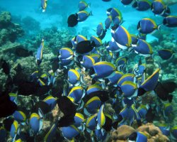 January Destinations, Maldives, Asia, Surgeonfish in coral reef