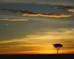 Kenya, Africa, Single Acacia Tree at Sunrise