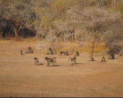 Kingdom of Swaziland Holiday, Hlane Royal National Park, Swaziland, Africa, Baboons