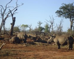 Kingdom of Swaziland Holiday, Hlane Royal National Park, Swaziland, Africa, Rhinos