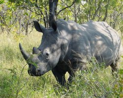 Kingdom of Swaziland Holiday, Mkhaya Reserve, Swaziland, Africa, Black Rhino