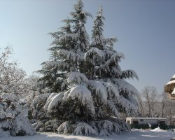 Lebanon, Asia, Cedar under the snow