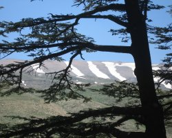 Lebanon, Asia, Cedars with mountain in backround