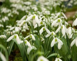 City Break Holiday, London, United Kingdom, Chelsea Physic Garden, Snowdrop Days overview