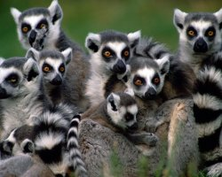 Madagascar, Africa, Lemurs warming up