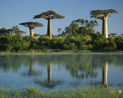 Madagascar, Africa, Baobab Trees Reflected in Wetlands