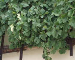 Maribor, Slovenia, Grapes on the oldest vine in the world