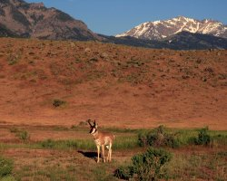 National Park Vacation, USA, Yellowstone National Park, Pronghorn