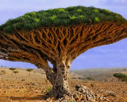 Paradise Holiday Destination, Socotra, Yemen, Dragon tree Dracaena cinnabari 03