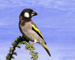 Paradise Holiday Destination, Socotra, Yemen, Socotra golden winged grosbeak