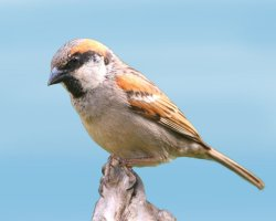 Paradise Holiday Destination, Socotra, Yemen, Socotra sparrow