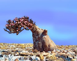 Paradise Holiday Destination, Socotra, Yemen, Bottle Tree Dendrosicyos socotrana 04