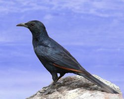 Paradise Holiday Destination, Socotra, Yemen, Socotra starling