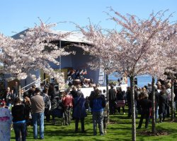 Perfect spring Holiday, Copenhagen, Sakura Festival, Cherry trees bloomed