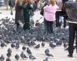 Pigeons Holiday, Venice, Italy, Piazza San Marco, Feeding pigeons