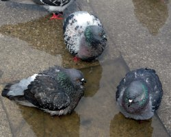 Pigeons Holiday, Venice, Italy, Piazza San Marco, Pigeon bath
