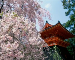 Romantic Holiday, Kyoto, Japan, Ninnaji temple and blossom flower
