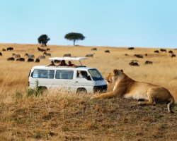 Safari Holiday, Lion on the field
