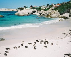 Western Cape, South Africa, Penguins at Boulders Beach overview