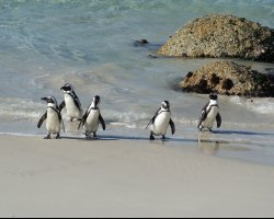 Western Cape, South Africa, Penguins at Boulders Beach closer view