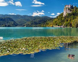 Stunning Places Holiday, Slovenia, Lake Bled, Lilies and swan