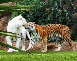 Sublime Perfect Holiday, Tenerife, Spain, Loro Natual Park with tigers