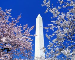 Washington DC, U.S.A., Cherry Blossoms and Washington Monument