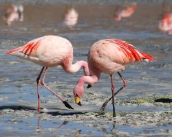Nature Weirdness, Bolivia, Laguna Colorada flamingos close view