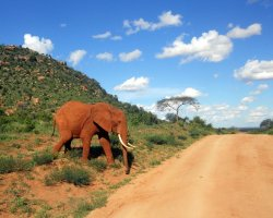 Wild Holiday, Tsavo National Park, Kenya, Red elephants near road