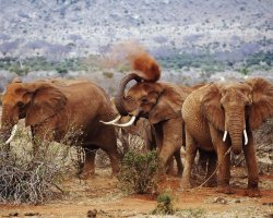 Wild Holiday, Tsavo National Park, Kenya, Red elephants dust bathing