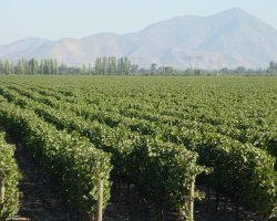 Valle del Maipo, Chile, Vineyards