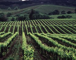 Napa and Sonoma Valleys, California, USA, Vineyard