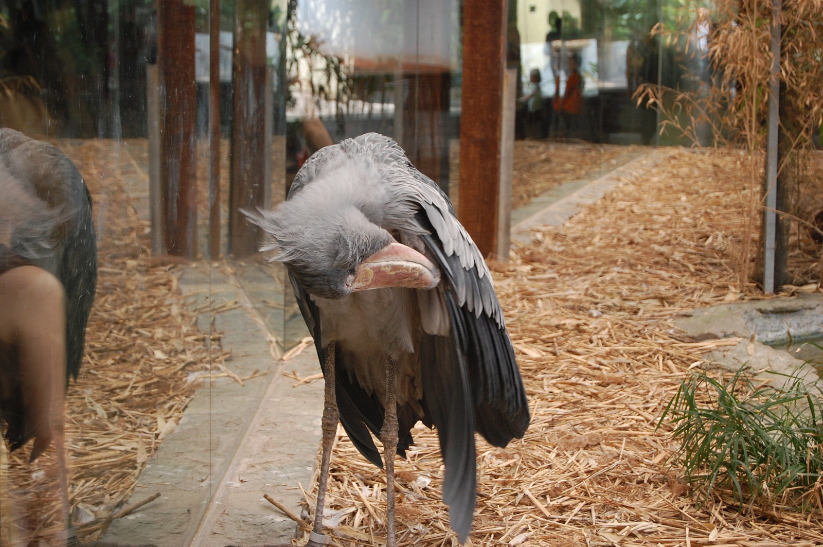 Frankfurt Zoo, Germany, Shoebill bird