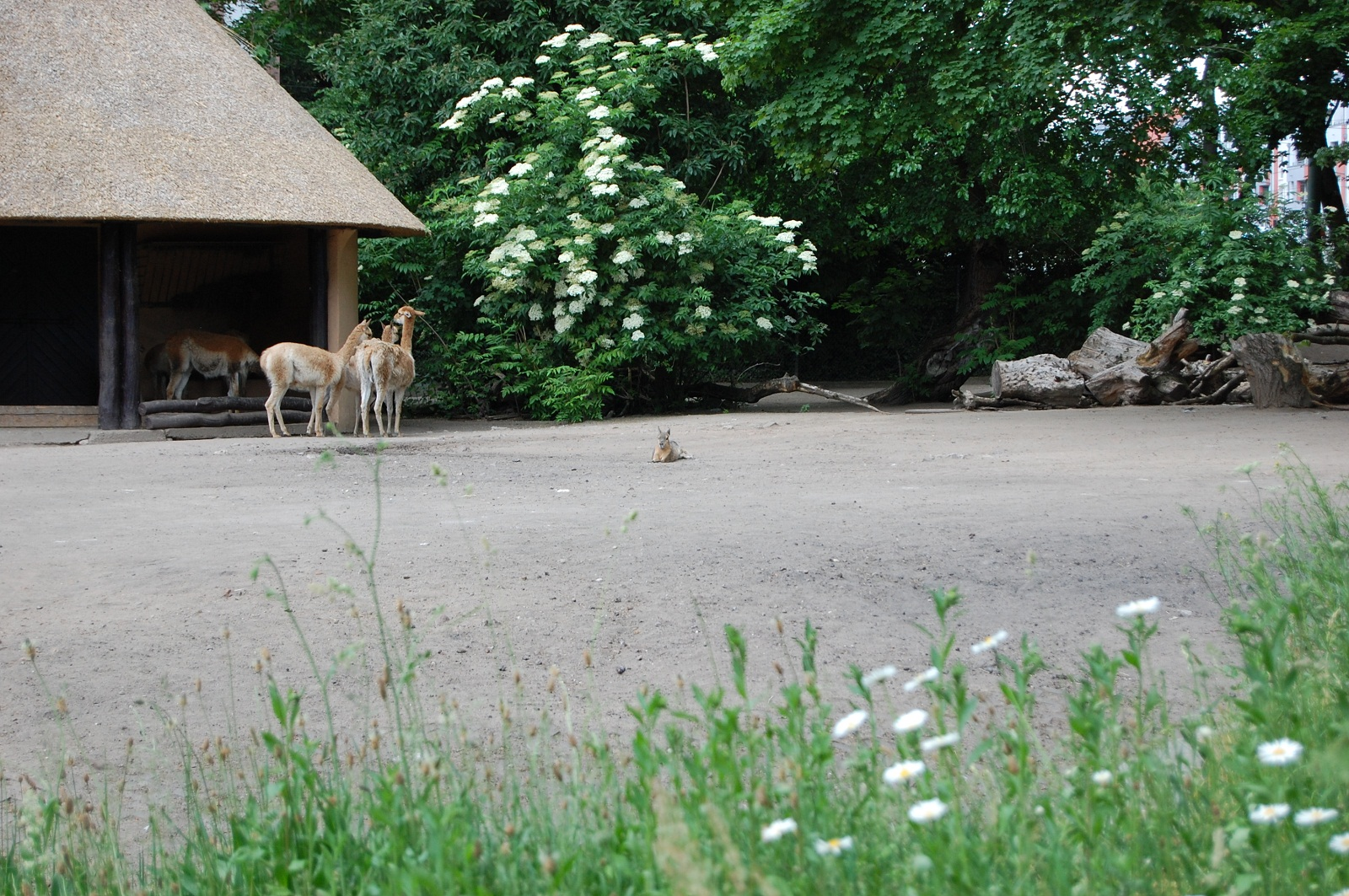Frankfurt Zoo, Germany, Lamas and Kangaroo
